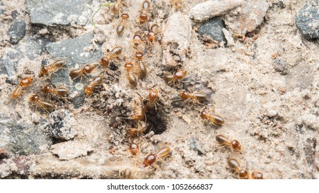 Termites are lurking in the ground as a group.