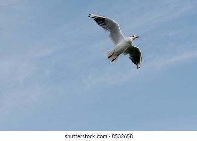 A tern flying high in the sky