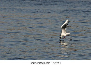 Tern on water seeking for food