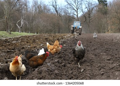 Ternopil region, Ukraine, 06 04 2019 Agricultural tractor field plowing. Agricultural machinery old tractor, small plow, small farmer in a small field of field, chickens collect worms on arable land