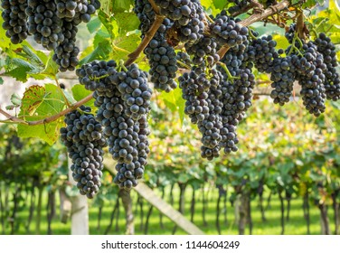 Teroldego grape variety. Teroldego is a deeply colored red wine grape grown mostly in the Trentino wine region of northern Italy