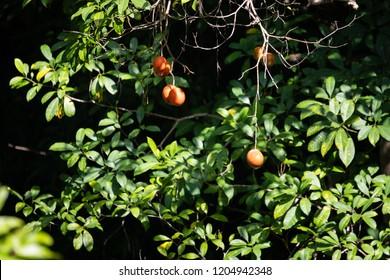 Terong Dayak or Terung Asam (Solanum lasiocarpu) fruit growing wild in the jungle in Borneo, Sepilok, Malaysia.