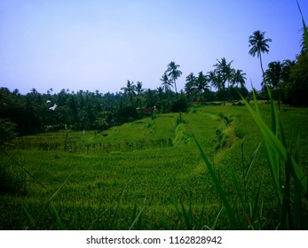 Terrace Farming Of The Rice Fields At Ringdikit Village, Buleleng, North Bali, Indonesia