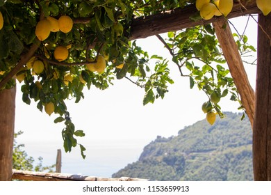 terrace field with lemons trees on Amalfi coast