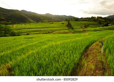 Terrace Paddy Rice Fields