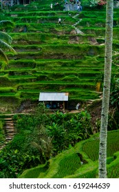 Terrace Rice Field