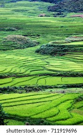 terraced green rice fields around Sa Pa, Vietnam