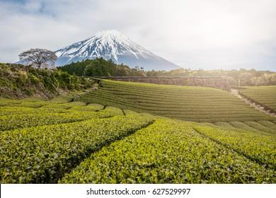 Terraced green tea fields with snow-capped Mount Fuji,Green tea fields and Mount Fuji,mt.Fuji in kawaguchiko lake,Kawaguchiko lake of Japan,Mount Fuji, Kawaguchi Lake, Japan