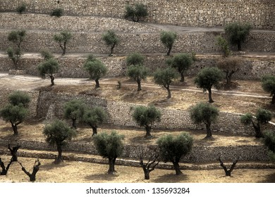 A terraced Olive trees grove at the foot of Mount of Olives in the city of Jerusalem, Israel. An HDR photo.