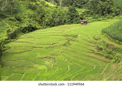 Terraced Rice Field and a little hut