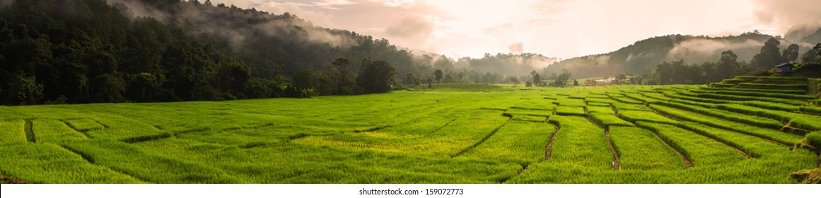 Terraced rice field in the morning, panorama view