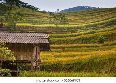 terraced rice fields in Hoang Su Phi in Ha Giang province in Vietnam. Ripe rice in the high mountain terraced fields in northwestern Vietnam. ready for big harvesting