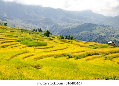 terraced rice fields in Northwest Vietnam