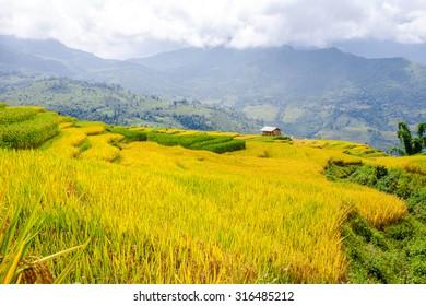 terraced rice fields in Northwest Vietnam