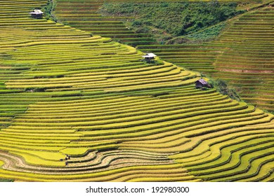 Terraced rice in harvesting season
