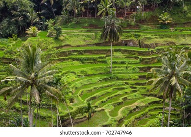 terraced rice paddies in Ubud, bali an island of indonesia