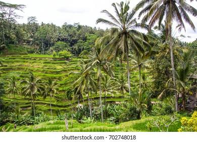 terraced rice paddies in Ubud, bali an island of indonesia