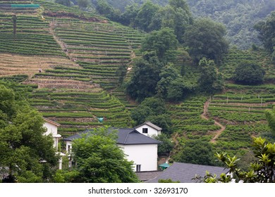 Terraced tea fields in the hills in China