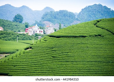 Terraced tea plantation in Moc Chau, Vietnam