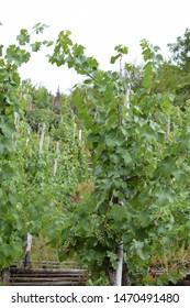 terraced vineyard landscpae in Moselle valley