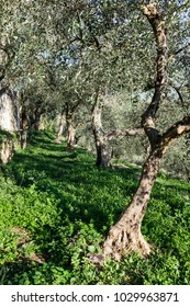 Terraces with olive plantation, Ligurian mountains, Imperia, Italy