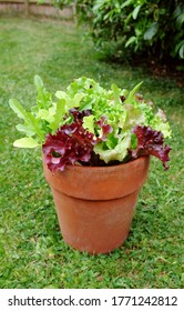 Terracot pot with home-grown mixed salad, leaf lettuce plants ready for harvest in a lush garden