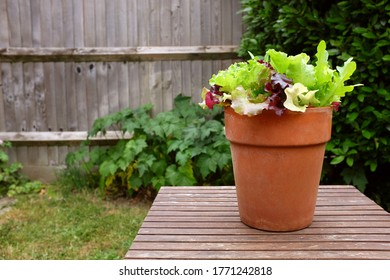 Terracotta pot planted with mixed salad leaves, on a wooden garden table with copy space