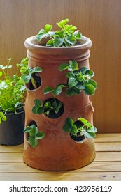 Terracotta strawberry planter with young plants, strawberries in flower, ideas for planting / potting and gardeners' delight.