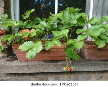 Terracotta window boxes featuring strawberry plants with fruit