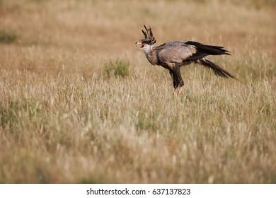 Terrestrial bird of prey, Sagittarius serpentarius, Secretarybird, raptor with crown of black feathers in savanna. Exactly captured moment when the predator swallows insects in the open beak. Kalahari
