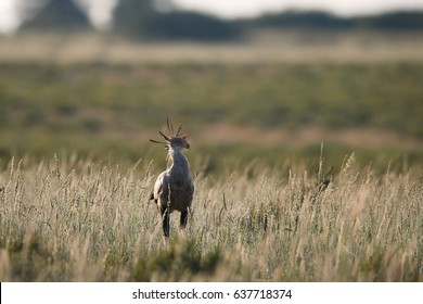 Terrestrial bird of prey, Sagittarius serpentarius, Secretarybird, large bird with crown of black feathers on hunt in the grass of dry savanna. Kalahari, Kgalagadi transfrountier park, Botswana