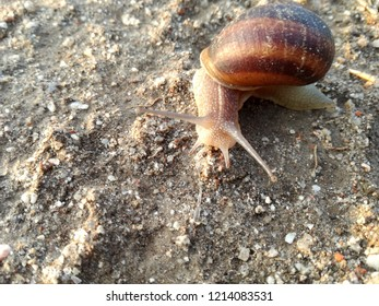 Terrestrial invertebrate walking its shell over the earth at sunset. Ground background. Snail.