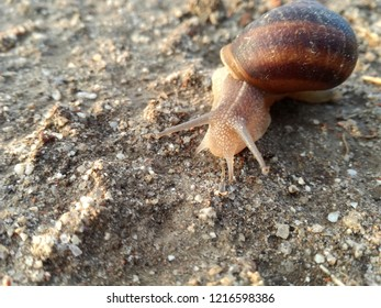 Terrestrial invertebrate walking its shell over the earth. Snail.