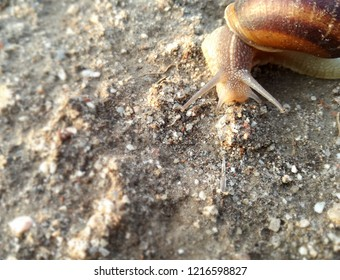 Terrestrial invertebrate walking its shell over the earth at sunset. Snail.
