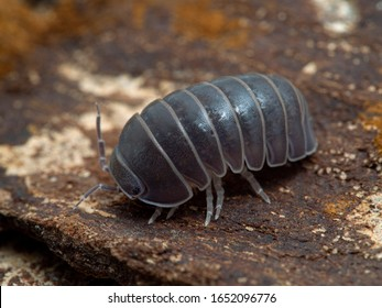 Terrestrial isopod (Armadillo officinalis) commonly called the oak-woodland pillbug or plain pill woodlouse, on bark, 3/4 view. This species can roll itself into a tight ball to protect itself - Shutterstock ID 1652096776