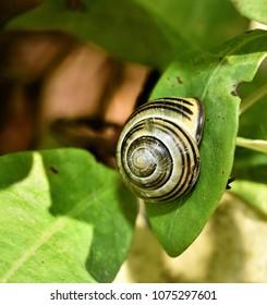 terrestrial pulmonate the common garden snail