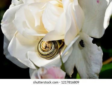 terrestrial pulmonate the common garden snail hiding in a rose flower