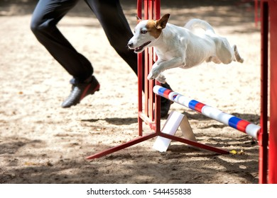Terrier at agility competition