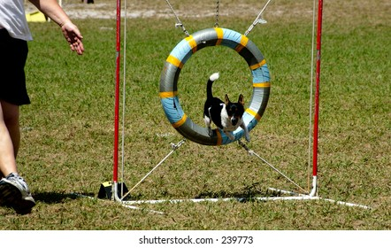 A Terrier at a dog agility trial