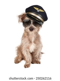 Terrier dog dressed as an airline pilot with hat and glasses