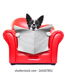 terrier dog reading blank empty newspaper on a red sofa , couch, or lounger , in living room , isolated on white background