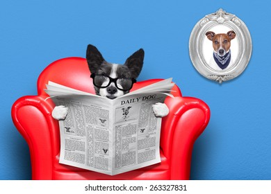 terrier dog reading newspaper on a red sofa , couch, or lounger , in living room , isolated on blue wall
