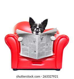 terrier dog reading newspaper on a red sofa , couch, or lounger , in living room , isolated on white background