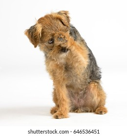 Terrier looking ashamed