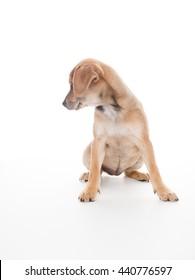 Terrier Mix Puppy Puppy on White Background