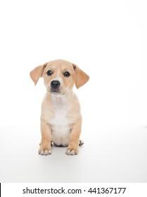 Terrier Mix Puppy on White Background