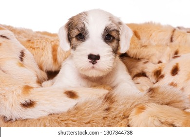 Terrier puppy in a blanket (isolated on white)