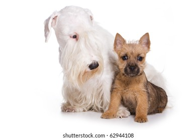 Terrier puppy isolated on white