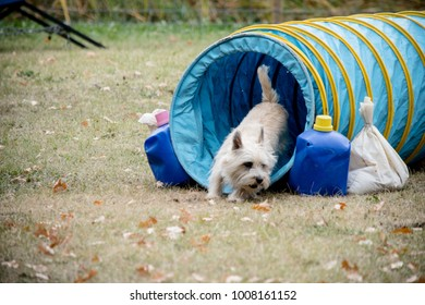 The terrier is running through the tunnels in an obstacle course