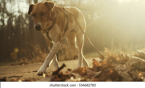 terrier walking by road in nature on a hiking, autumn delight with dogs